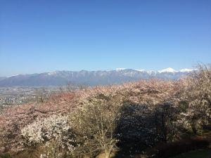 松本市アルプス公園の桜情報