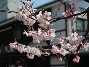 松本市街地 週末見頃の桜情報 2019/04/06 9:20
