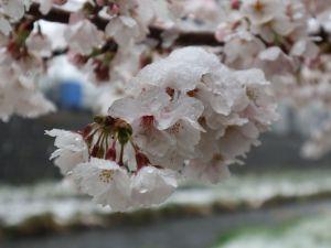 桜と雪 2019/04/10