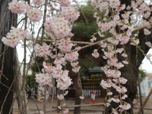 松本城公園桜はまだまだこれから見頃です!2019/04/12