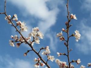 水辺の桜の華やかさに多くの人が魅せられています!2019/04/12