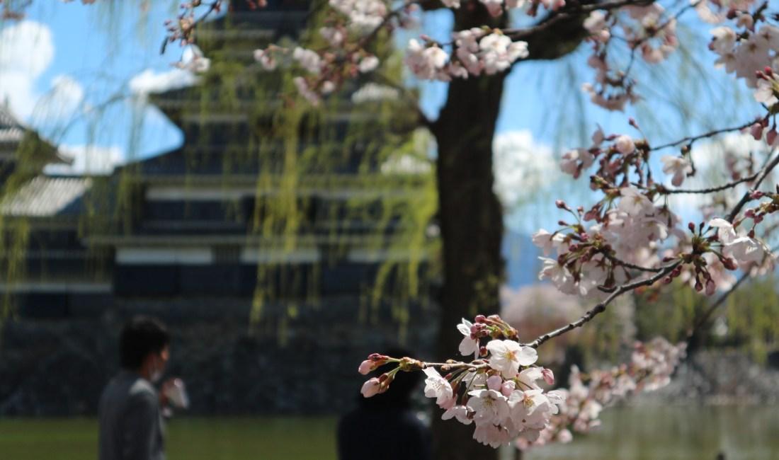 雨上がりの松本城の美しさにクラクラ桜も見頃です!2019/04/15