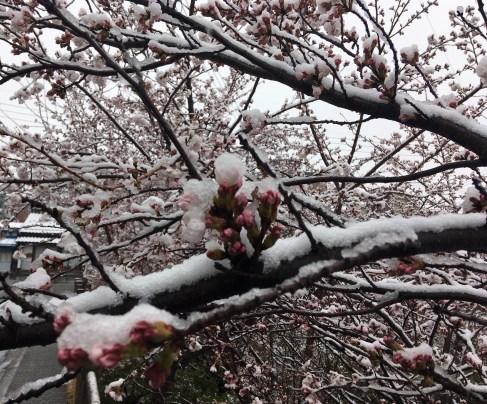 Sakura snow 7