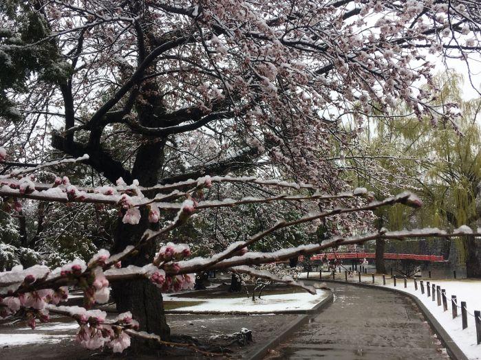 Sakura snow3