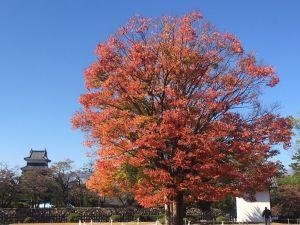 国宝松本城 オオカエデが見頃です。松本城周辺紅葉情報