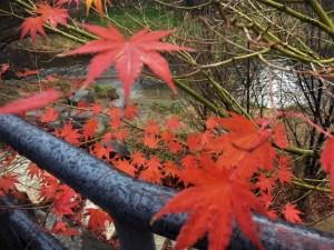 12月の雨は暖かい。中町「新小路」から縄手通り 最後の紅葉
