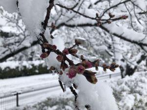 หิมะตกทิ้งทวนก่อนซากุระบาน