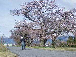 梓川左岸沿いの桜並木も、桜の花が咲き始めてきています。