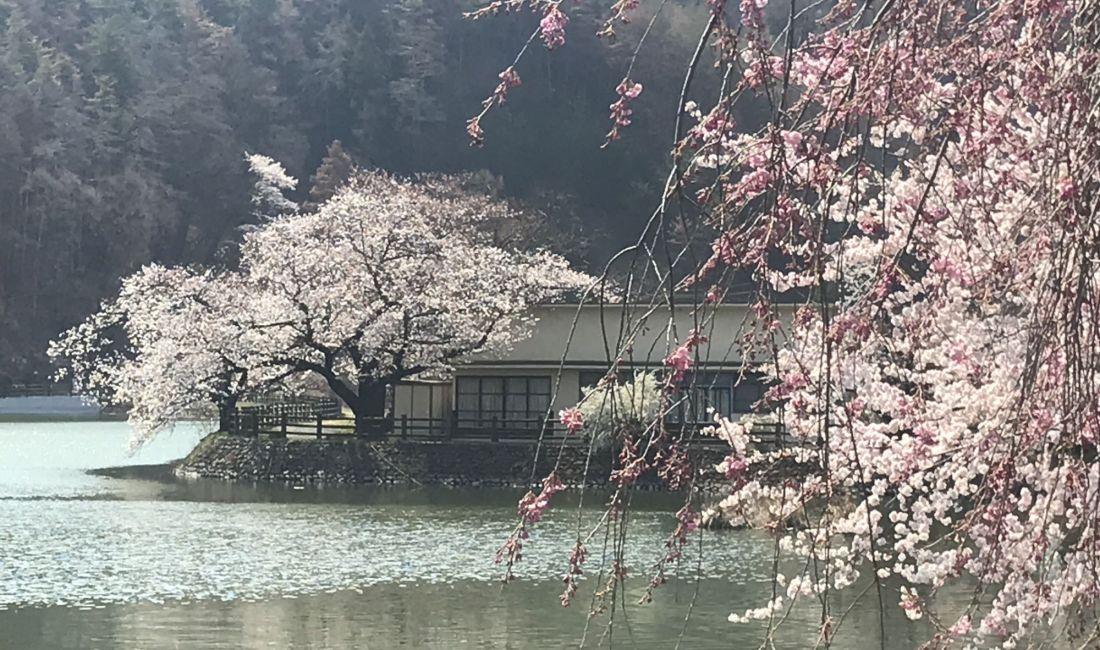 千鹿頭池の桜🌸