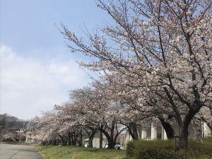 松本市総合体育館南側の桜🌸