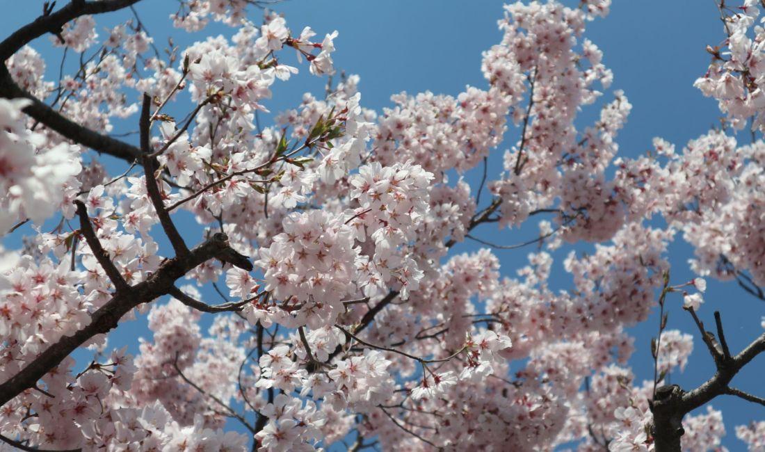 辰巳の庭のコヒガンサクラはほぼ満開です🌸4月4日