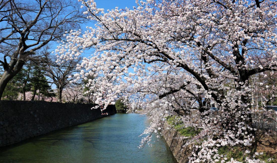 国宝松本城外堀🌸満開🌸確かに今年の桜は綺麗です🌸4月9日