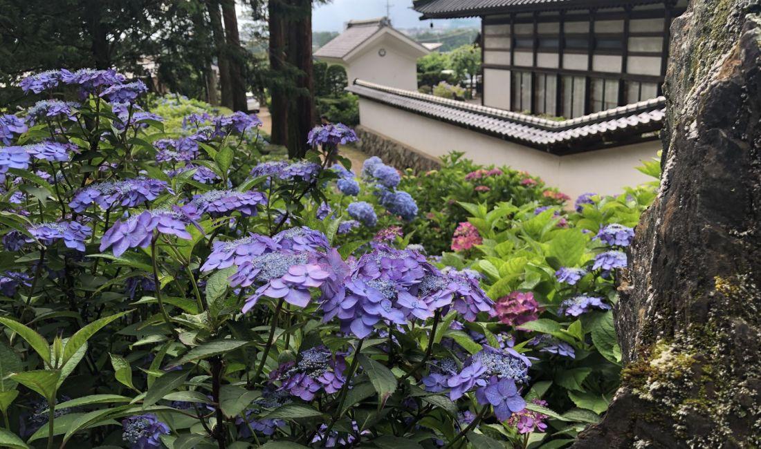 松本弘长寺的绣球花