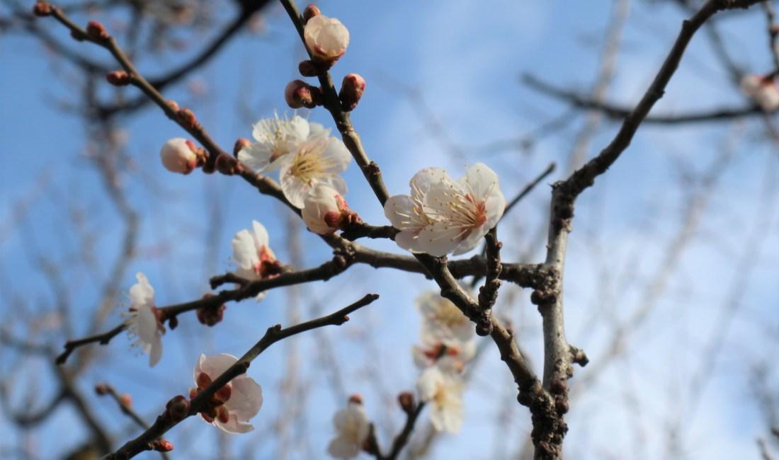 松本城公園の白梅が咲いていました。
