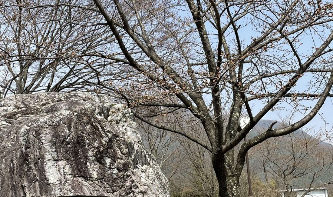2021.3.30 AM  梓川ふるさと公園の桜
