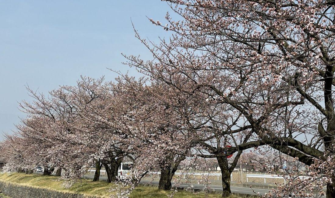 2021.3.30 AM  薄川堤防沿いの桜