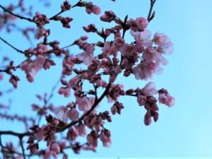 辰巳の庭コヒガンサクラが咲き始めました🌸情報