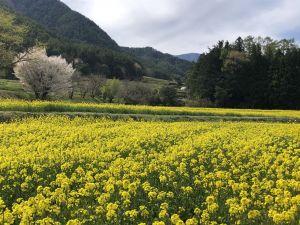 ชมดอกนาโนะฮานะสีเหลืองอร่ามที่สวน Alps Azumino (อำเภออะซูมิโน่)