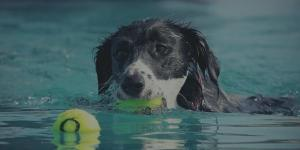 dog swimming to fetch tennis ball