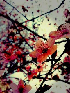 cvet od kavalerot...