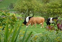 Church Farm Cottage & Ancestral Barn Cows new small