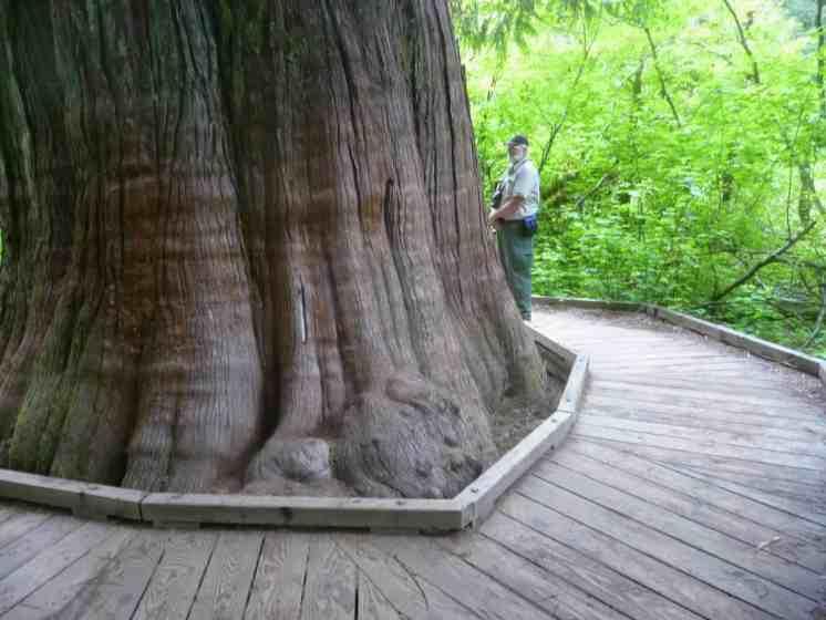Small hiker, big cedar, The Grove Loop Trail