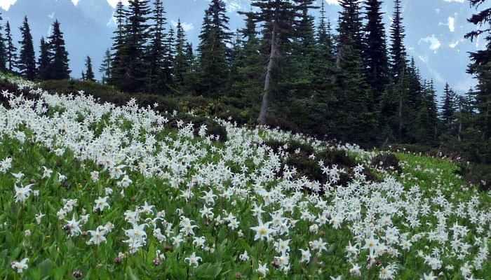 Nisqually Vista Paradise Flower Trails