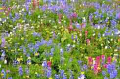 Wildflowers at Paradise