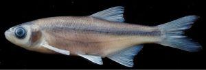 Fallfish