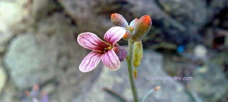 Wild Flowers of Soon Valley