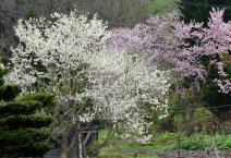 kobushi tree 1