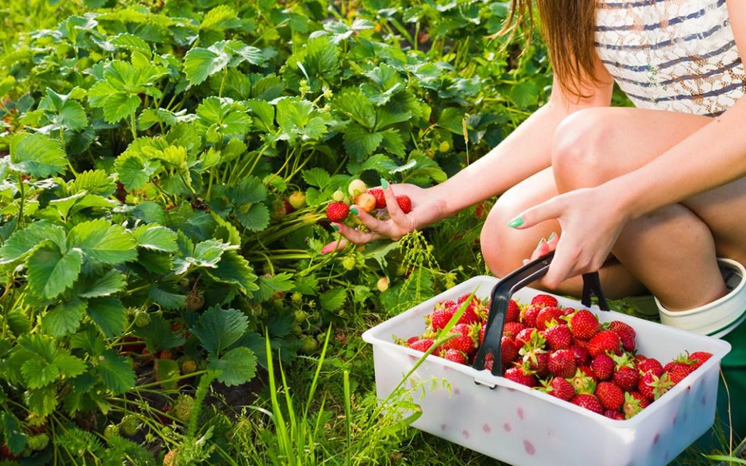 Scott's Strawberry & Tomato Farms