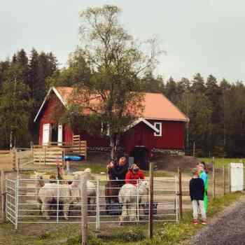 Alpakkasafari | Østre Kjærnes Gård | Våler i Viken