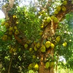 Jack Fruit Tree Yercaud