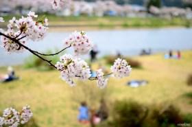 Sakura, Kakunodate, Japonya
