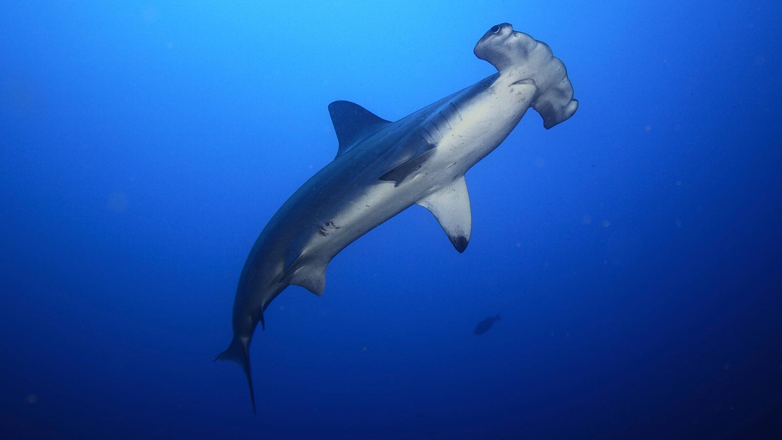 Hammerhead Shark Wallpapers Animal Hq Hammerhead Shark