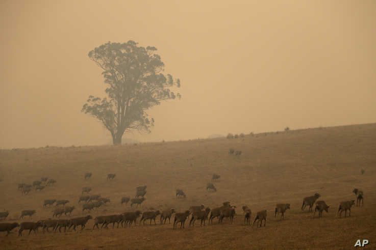 Sheep graze in a field shrouded with smoke haze near at Burragate, Australia, Saturday, Jan. 11, 2020. Wildfires continue to…