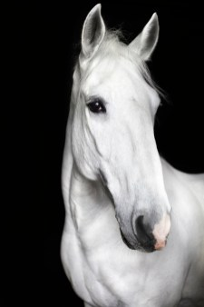 the-equestrian-linnea-aarflot-white-stallion