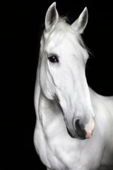 the-equestrian-linnea-aarflot-white-stallion