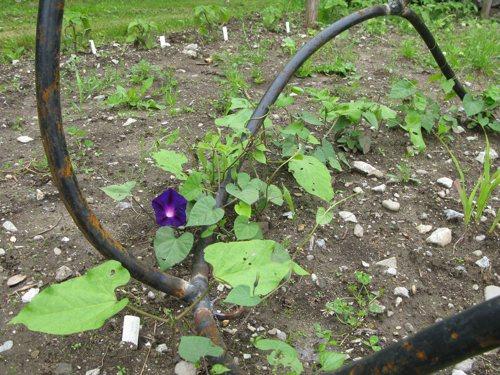 Flowering morning glory's