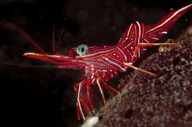 dancingshrimp-Lars-Hallstrom-age-fotostock-getty