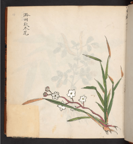 Botanical drawings of Chinese plants with Chinese names. Bodleian MS 5304. fol. 15r