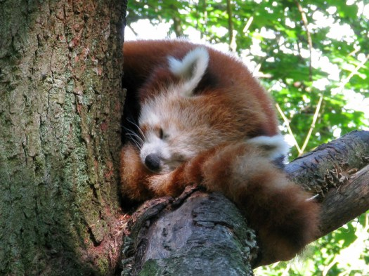 red panda, Sweden
