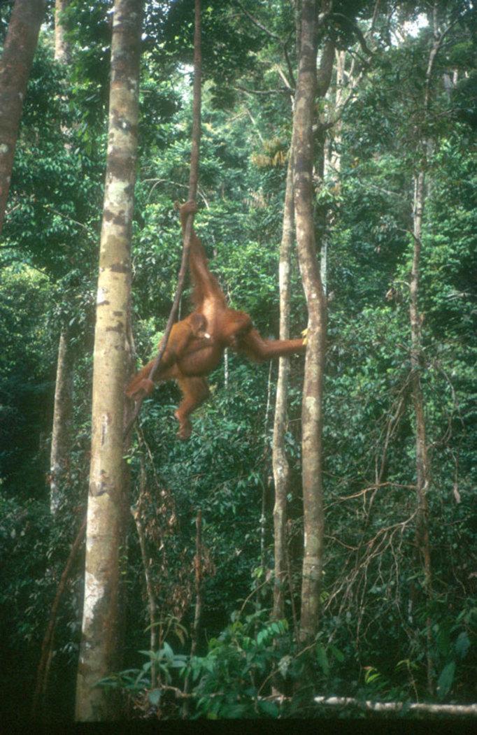 Orang utan, Sumatra