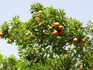 oranges, Damaskus