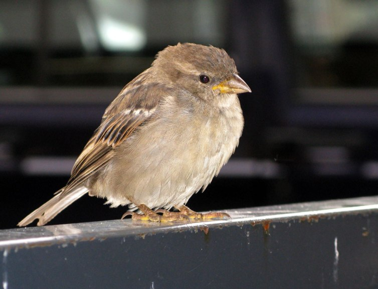 sparrow, Norway
