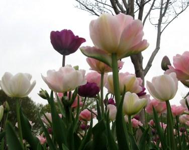 tulips, D.C.