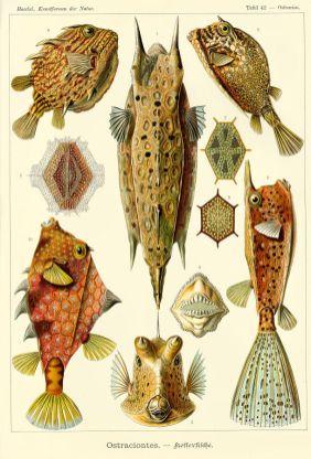 Boxfish (Ostraciontes)