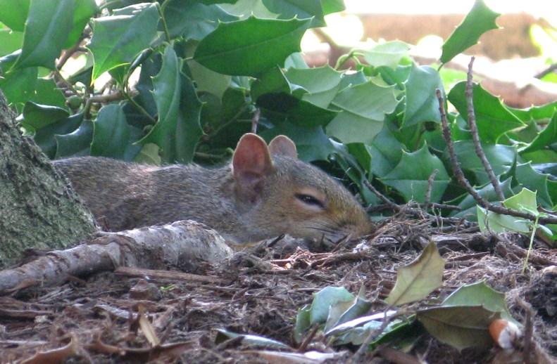 sleepy DC squirrel