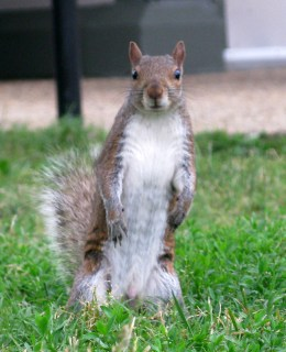 DC squirrel